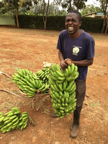 Harvested bananas are growing well and heavier than conventional ones