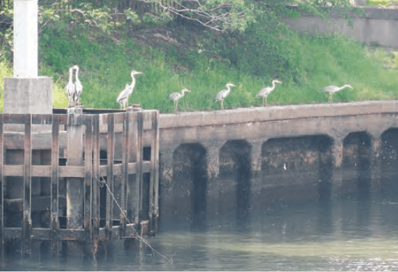 Flocks of snowy heron are seen along Horikawa river.