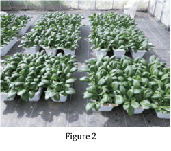Figure 2. Test of Komatsuna (Chinese spinach)