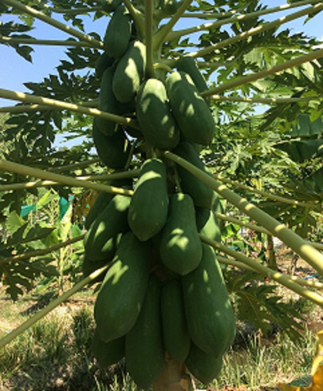 Papayas grown big and healthy with the EM fertilizers  produced at the center