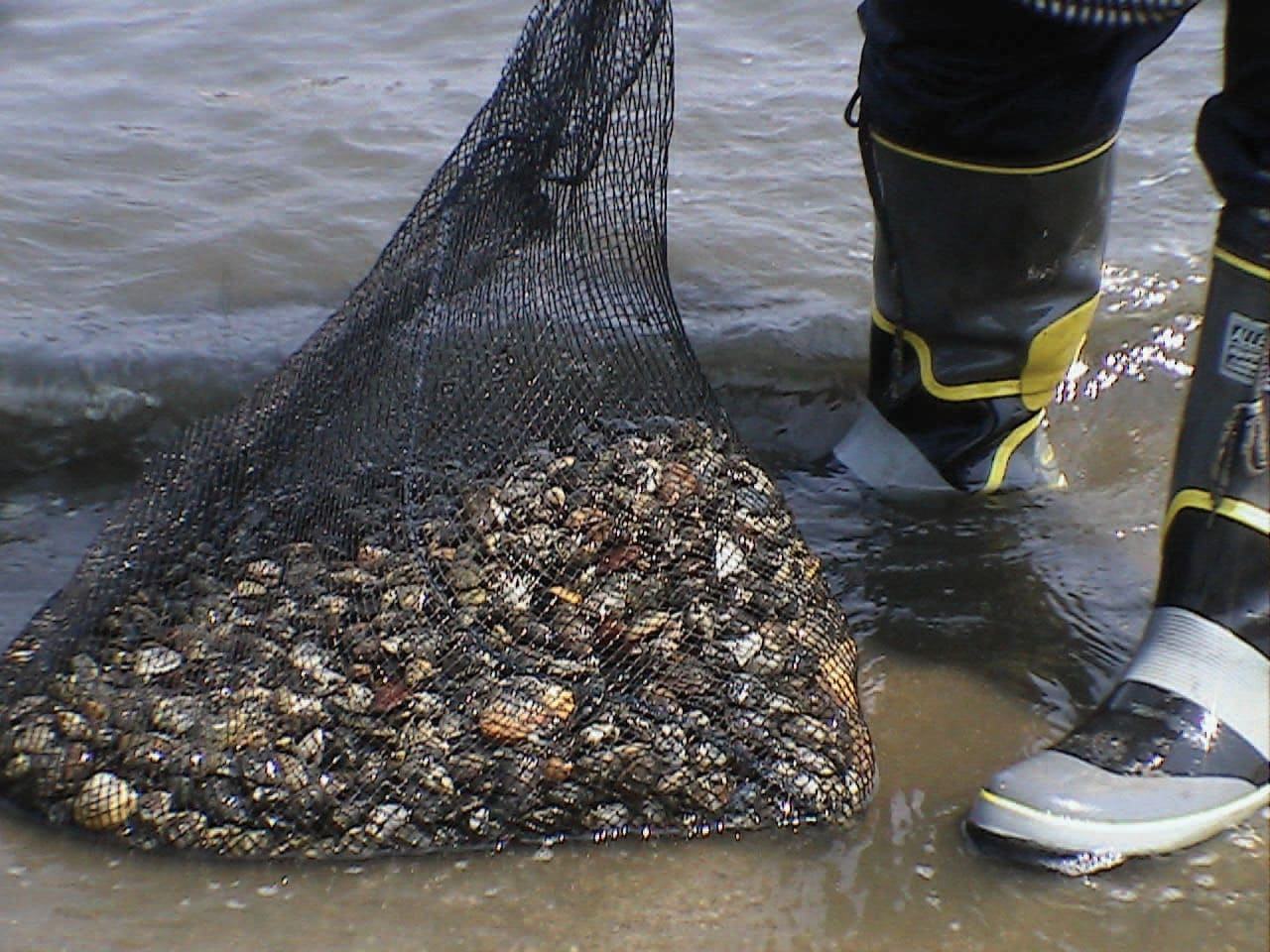 Large catch of clams