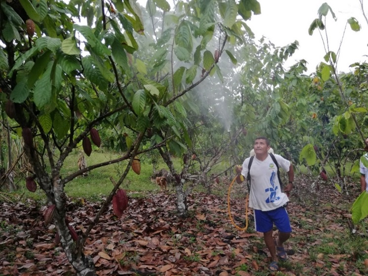 Spraying AEM to cacao trees