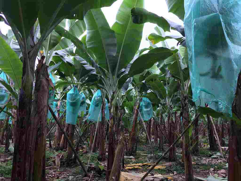 Healthy Roots in Organic Banana Farming