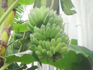 Bananas (Photo 2)