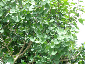 Photo 10: Ginkgo biloba in Okinawa, whose leaves have a tendency to shrink due to high temperatures, has normalized.