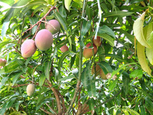 Photo 15-2: Fruited mangos without using a plastic green house