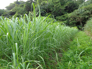 Photo 17: Spring-planted sugarcane, tillered like pasture grasses (usually the number of root stocks are less than half of these)