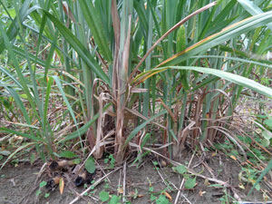 Photo 18:  Sugarcane with a remarkable ratooning effect (usually there are 4-5 offshoots, but here there are 20 or more)
