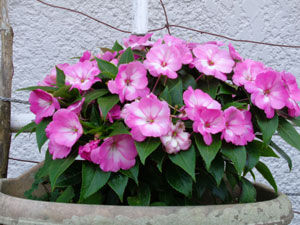 Photo 14-3: New Guinea impatiens blooming as if it's a different variety