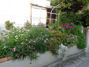 Photo 14-1: The flowers in our flowerbed that I have often introduced are growing huge