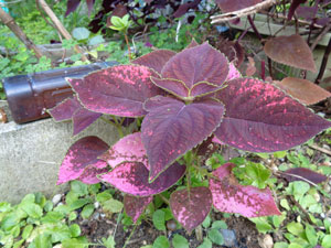 Photo 9: The bright spots on Coleus began to disappear and it grew huge