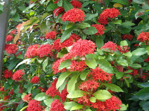 Photo 12: Santanka, ixora chinensis at my home