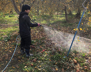 November: Sprayed activated EM over apples after removing them from the trees