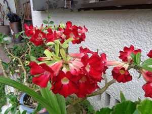 Photo 14-2: Adenium blooming as if it's a different variety