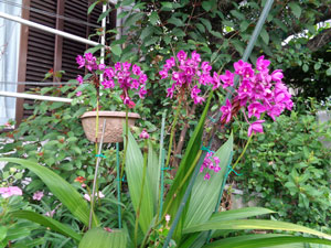Photo 2:  The virus-free purple Philippine ground orchid grew quite huge